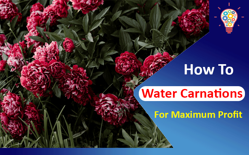 How To Water Carnations For Maximum Profit?